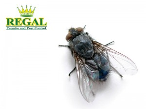 regal-pest-control-pests-library-flies
