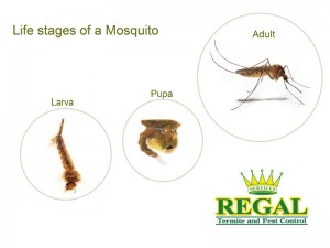 regal-pest-control-pests-library-mosquito