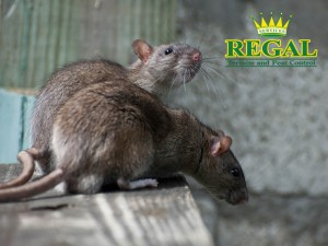 regal-pest-control-pests-library-rats