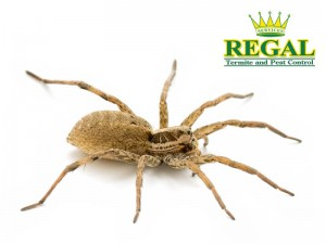 regal-pest-control-pests-library-spiders