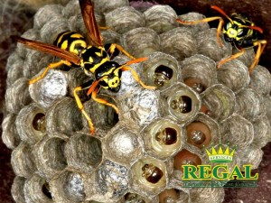regal-pest-control-pests-library-stinging-pests
