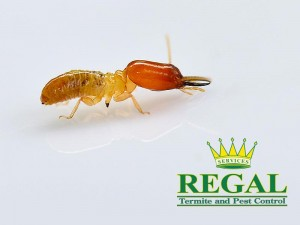 regal-pest-control-pests-library-termites