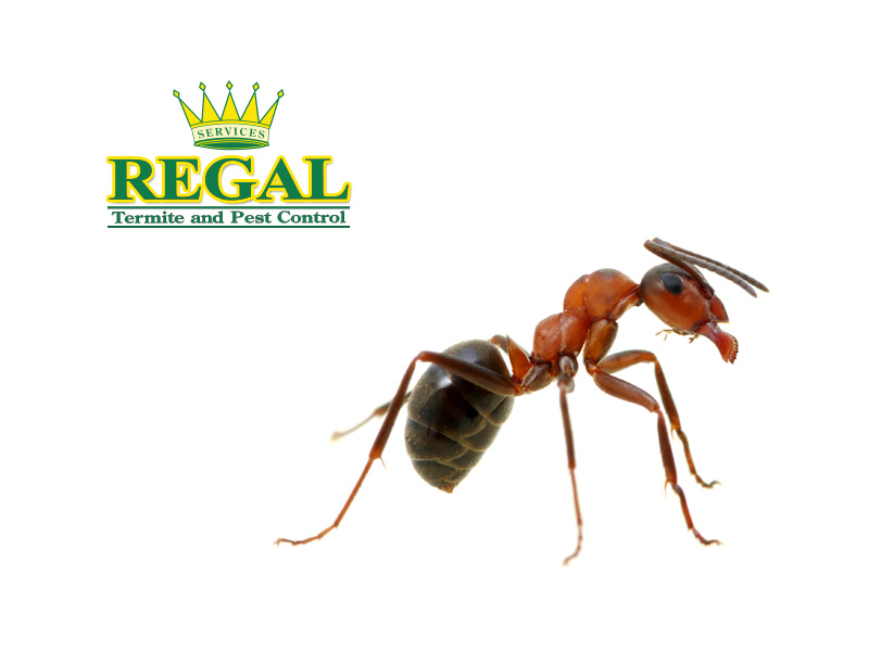Regal Pest Control Pests Library Ants